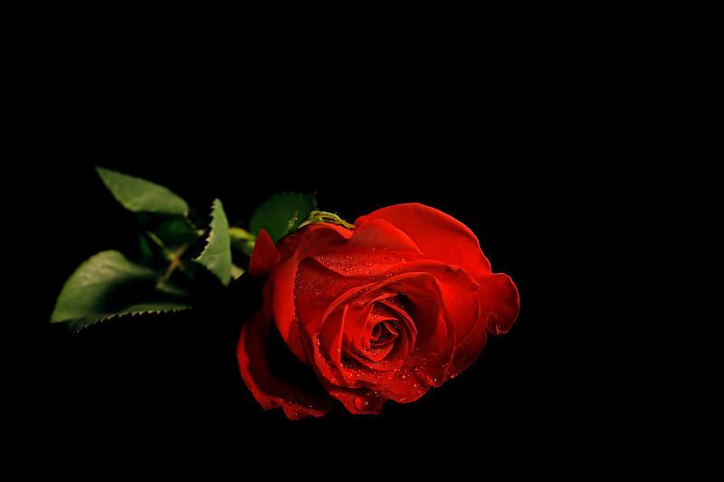 Red Rose Black ...